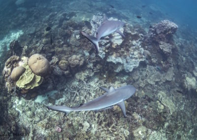Reef Sharks, Coral Bay