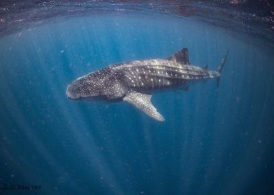 Whale Shark through rays of sunlight